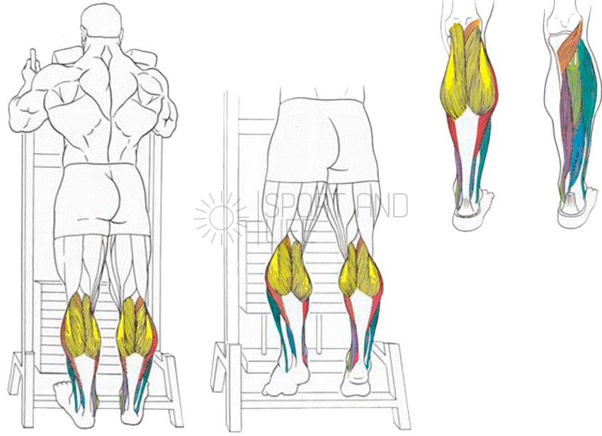 Подъемы на носки в тренажере смита работающие мышцы