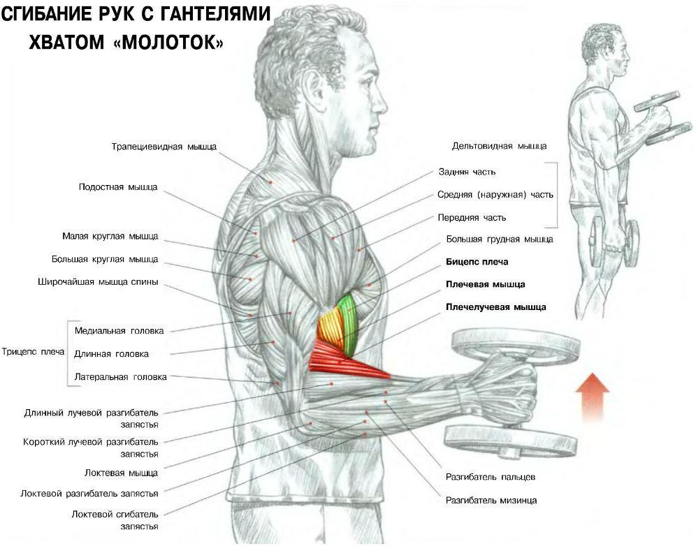 Какие мышцы работают упражнение молот