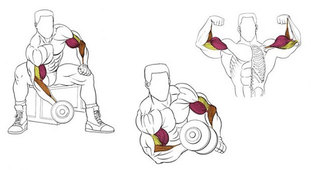 Концентрированные сгибания с гантелей какие мышцы работают