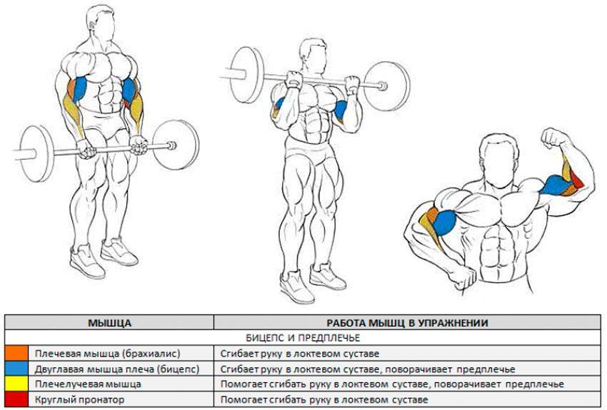 Подъем штанги на бицепс мышцы