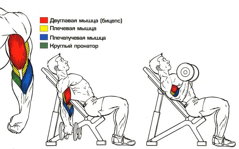 Подъем гантелей на бицепс сидя на наклонной скамье какие мышцы работают