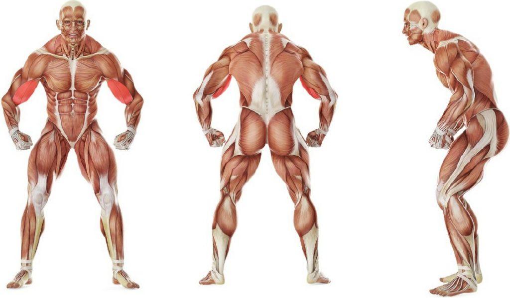 Подъем гантелей на бицепс в наклоне мышцы